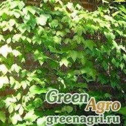 Виноград девичий триостренный (Parthenocissus tricuspidata) 50 гр.