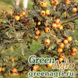 Боярышник городчатый (Crataegus crenulata) 20 гр.
