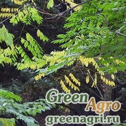 Бундук китайский (Gymnocladus chinensis) 60 гр.