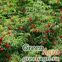 Бузина красная (кистистая) (Sambucus racemosa) 150 гр.