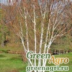 Береза полезная (Betula utilis) 8 гр.