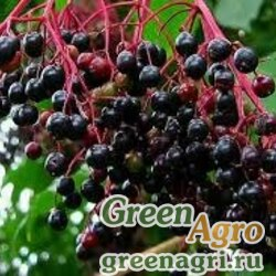 Бузина черная (Sambucus nigra) 150 гр.