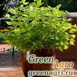 Лейцестерияформозская Leycesteria formosa JEALOUSY GREEN Multi-pelleted 100