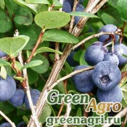 Голубика обыкновенная (Vaccinium uliginosum) 1 гр.