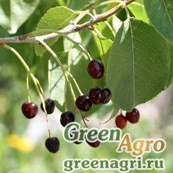 Вишня магалебская (Prunus mahaleb) 200 гр.