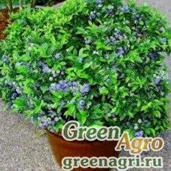 Голубика узколистная (Vaccinium  angustifolium) 1 гр.