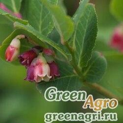 Голубика Смолла ф.разноцветная (Vaccinium smallii var.versicolor) 0,3 гр.