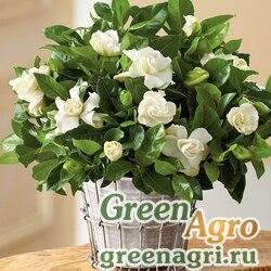 Гардения  жасминовидная (Gardenia jasminoides) 15 гр.