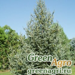 Ель Мейера (Picea meyeri) 20 гр.