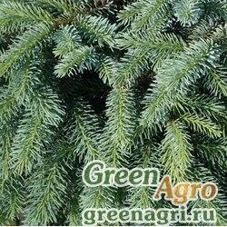 Ель Лутца (Picea lutzii) 3 гр.