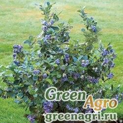 """Голубика высокорослая (Vaccinium corymbosum) """"Northcountry"""" 1 гр."""