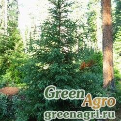 Ель сибирская голубая (Picea obovata var. coerulea) 5 гр.