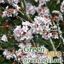 Вишня Саржента (Prunus sargentii) 10 гр.