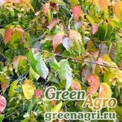 Граб Генри (Carpinus henryana) 20 гр.