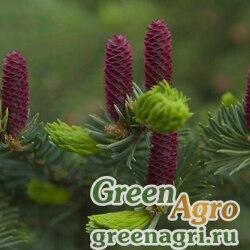 Ель корейская (Picea koraiensis) 8 гр.