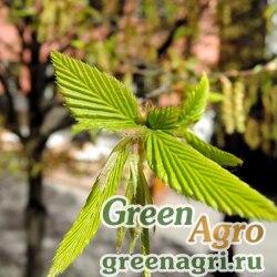 Граб обыкновенный (Carpinus betulus) 350 гр.