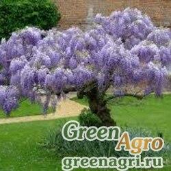 Глициния китайская (Wisteria sinensis) 50 гр.
