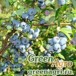 "Голубика высокорослая (Vaccinium corymbosum) ""Hardyblue"" 1 гр."