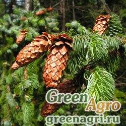 Ель аянская (Picea ajanensis) 20 гр.