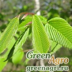 Граб сердцелистный (Carpinus cordata) 15 гр.