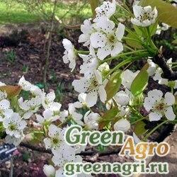 Груша уссурийская (Pyrus ussuriensis) 40 г
