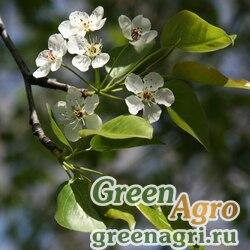 Груша Каллери (Pyrus calleryana) 30 гр.