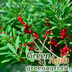 Волчеягодник Альбова (Daphne albowiana) 1 гр.