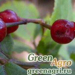 Голубика корейская (Vaccinium koreanum) 0,3 гр.
