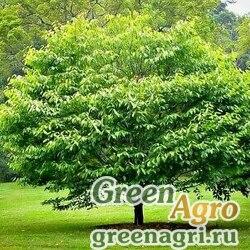 Граб каролинский (Carpinus caroliniana) 15 гр.
