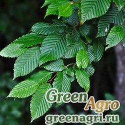 Граб кавказский (Carpinus caucasica) 200 гр.