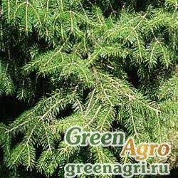Ель Вильсона (Picea wilsonii) 40 гр.
