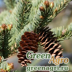 "Ель канадская (Picea glauca) ""MN"" 6 гр."