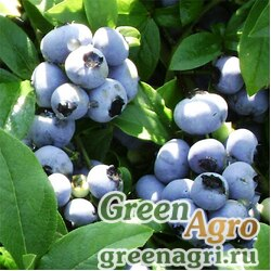 """Голубика высокорослая (Vaccinium corymbosum) """"Jersey"""" 1 гр."""