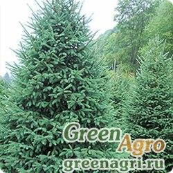 "Ель канадская густая (Picea glauca var. densata) ""Black Hills, SD"" 5 гр."