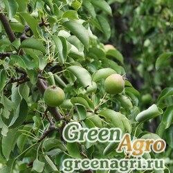 Груша грушелистная (песчаная) (Pyrus pyrifolia) 20 гр.