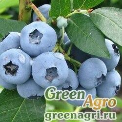 """Голубика высокорослая (Vaccinium corymbosum) """"Bluetta"""" 1 гр."""