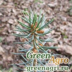 Ель ликиангинская (Picea likiangensis) 15 гр.