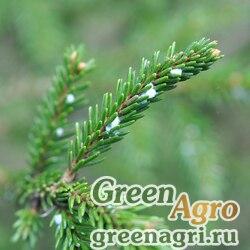 Ель восточная (Picea orientalis) 10 гр.