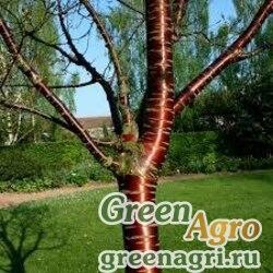 Вишня пильчатая (Prunus serrula) 20 гр.