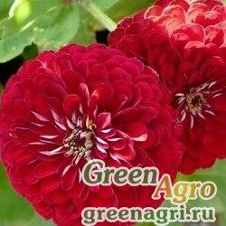 Цинния изящная Салмон роуз  (упак-50 гр.)