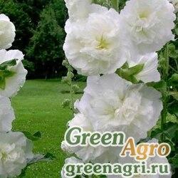 Шток-роза Белая  (упак-50 гр.)