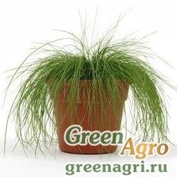 """Луговик (Щучка) продолговатый (Deschampsia elongata) """"Zephyr"""" (green) multi-pelleted 1000 шт."""