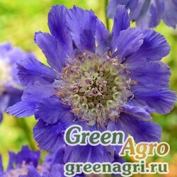 "Скабиоза кавказская (Scabiosa caucasica) ""Fama"" (deep blue) raw 250 шт."