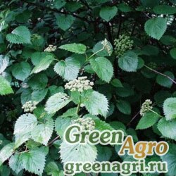 Калина признанная (Viburnum recognitum) 40 гр.