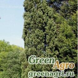 Кипарис гималайский (Cupressus torulosa) 10 гр.