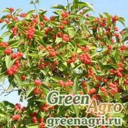 Жимолость Рупрехта (Lonicera ruprechtiana) 2 гр.