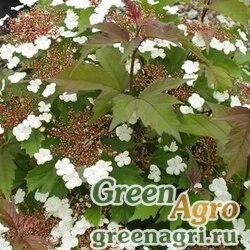 Калина Саржента (Viburnum sargentii) 60 гр.