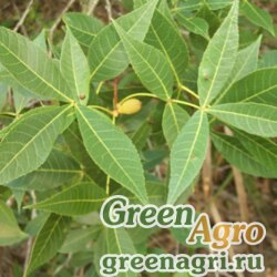 Кария флоридская (Carya floridana) 20 гр.