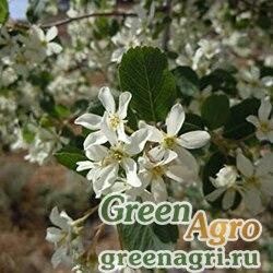 Ирга ютская (Amelanchier utahensis) 15 гр.