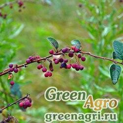 Кизильник черноплодный (Cotoneaster melanocarpus) 30 гр.